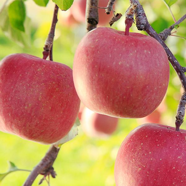 弘前市の秋 りんご