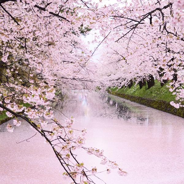 弘前市の春 桜
