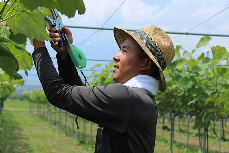 ぶどう畑で作業をする伊藤さん