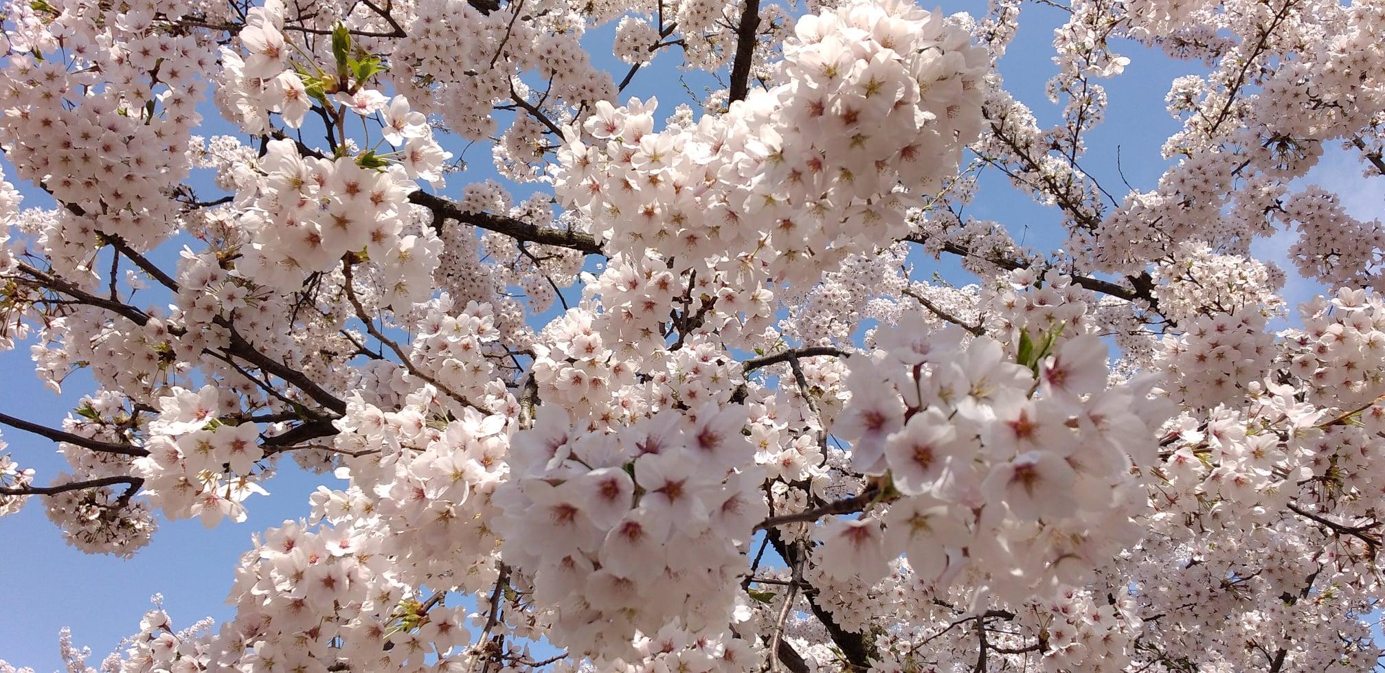 弘前公園の桜はなぜ美しいか